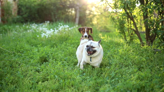 playful hound and mixed-breed pug dog playing around on the meadow - lap dog stock videos & royalty-free footage