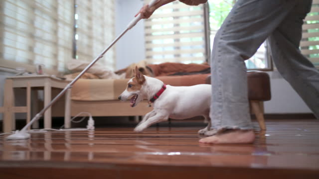 playful jack russell terrier playing and running while doing cleaning house work - housework stock videos & royalty-free footage