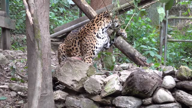stockvideo's en b-roll-footage met playful jaguar had some fun in her enclosure at an animal refuge in yolosa, bolivia, footage shared to youtube shows. the video, posted by gosia... - um animal