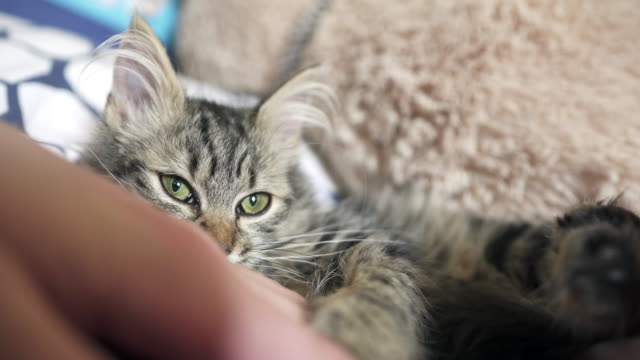 playful kitten playing with a human hand - mixed breed cat stock videos & royalty-free footage
