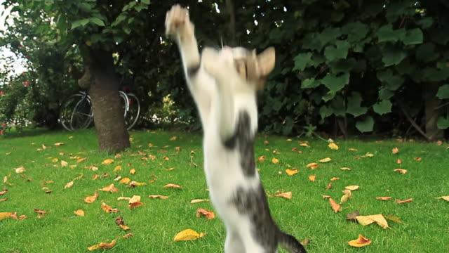 vídeos de stock, filmes e b-roll de hd câmera lenta: um gatinho brincalhão - gato doméstico