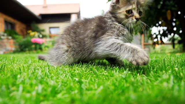 HD SUPER EM CÂMARA LENTA: Brincalhão Filhote de Gato