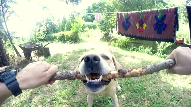 pov: verspielte labrador retriever - stab stock-videos und b-roll-filmmaterial