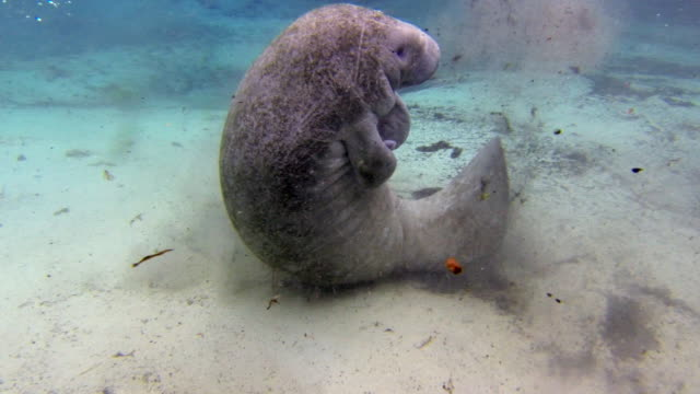 playful manatee flipping over sandy ocean floor - everglades, florida - rundschwanzseekuh stock-videos und b-roll-filmmaterial