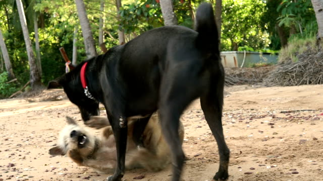playful pets: two dogs playing on the beach - bark stock videos & royalty-free footage
