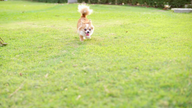 playful pets:dog running - pursuit sports competition format stock videos and b-roll footage