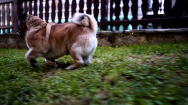 Verspielte Mops Hund