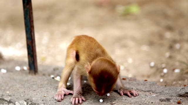 Playful rhesus monkey