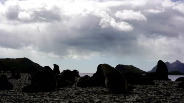 vídeos y material grabado en eventos de stock de juguetón cría de foca - elefante marino del sur