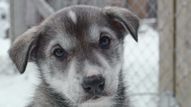 cu playful sled dog puppy walking toward the camera - puppy stock videos & royalty-free footage