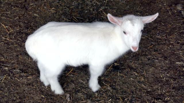 hd: playful spring lamb - sheep stock videos & royalty-free footage