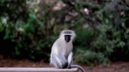 Playful Ververt Monkey