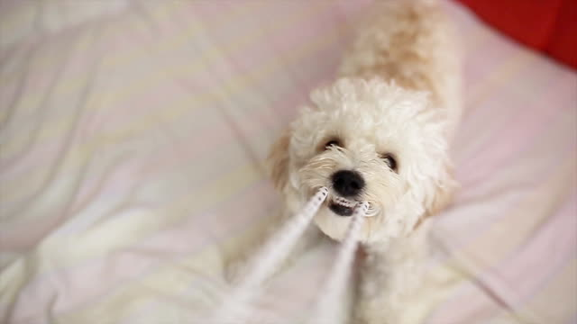 playfull cute little dog pov - bichon frise stock videos and b-roll footage