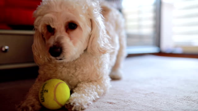 playfull cute little dog - bichon frise stock videos and b-roll footage