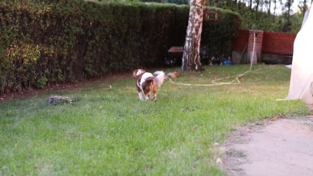 playing catch - cavalier king charles spaniel stock videos and b-roll footage