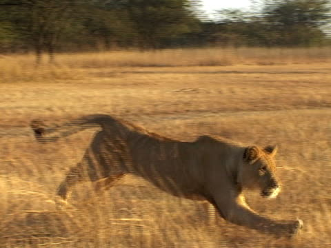 stockvideo's en b-roll-footage met playing lions - drie dieren