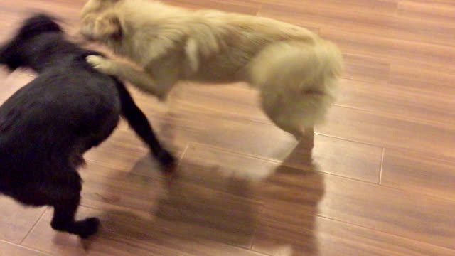 playing two dogs - wooden floor stock videos & royalty-free footage