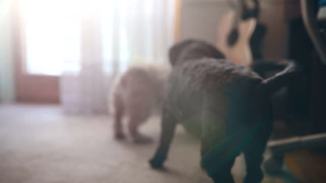 vídeos de stock e filmes b-roll de playing with cute playful dogs - dois animais