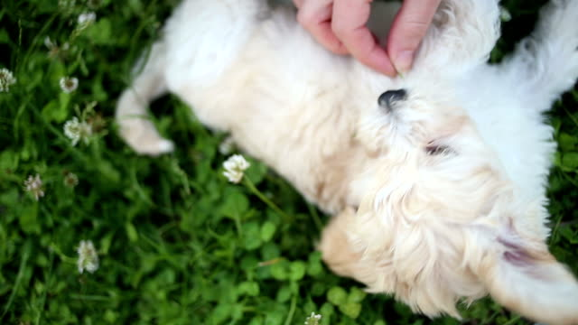 playing with cute puppy - bichon frise stock videos and b-roll footage