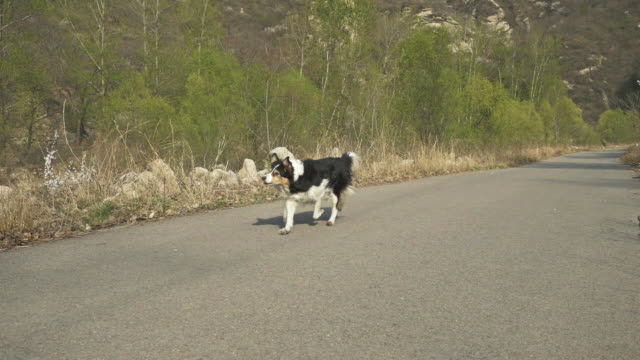 playing with dog and let the dog back and forth. - collie stock videos & royalty-free footage