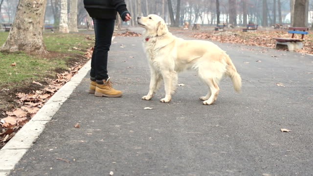 playing with dog in park - golden retriever stock videos and b-roll footage