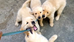 POV playing with Golden Retriever Puppies