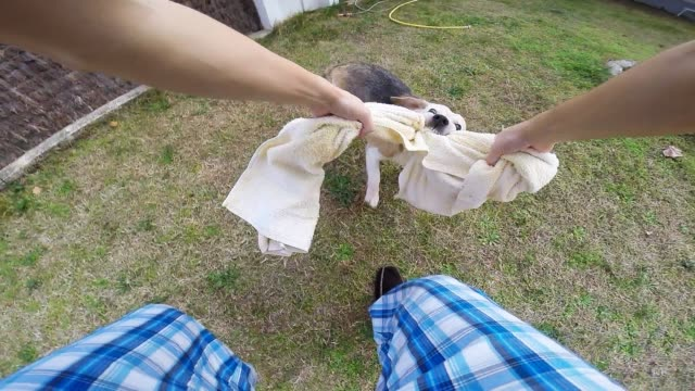 Playing with the dog towel after a bath and trying to drying him on the backyard home from personal point of view.