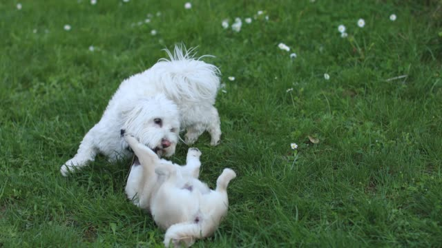 playtime in the park - maltese dog stock videos and b-roll footage