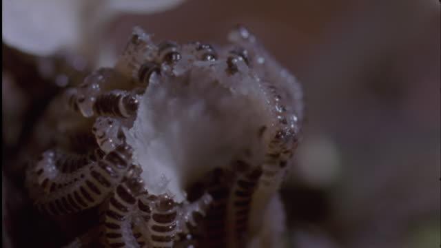 pleasing fungus beetle (erotylidae) cares for its brood of larvae, ecuador - fungus stock videos & royalty-free footage