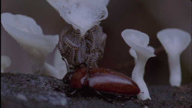 pleasing fungus beetle (erotylidae) larvae feed on fungus under care of adult, ecuador - fungus stock videos & royalty-free footage
