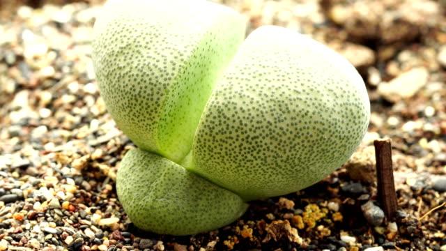 pleiospilos nelii (split rock or splitrock) - flowering plant stock videos & royalty-free footage