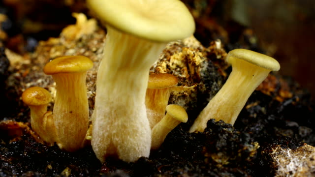 pleurotus ostreatus, the oyster mushroom growing in time lapse - macro stock videos and b-roll footage