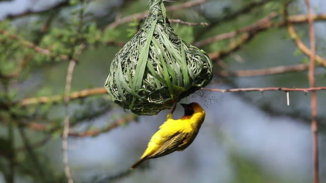 ms ploceus cucullatus male working on nest in bogoria park / national park, africa, kenya - nest stock-videos und b-roll-filmmaterial