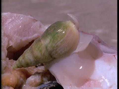 vidéos et rushes de a plough snail feeds on a fish carcass. - se nourrir des restes