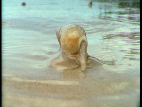 vídeos de stock, filmes e b-roll de a plough snail inches across wet sand. - gastrópode