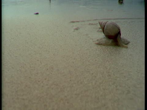 vídeos de stock, filmes e b-roll de a plough snail inches across wet thick sand. - gastrópode