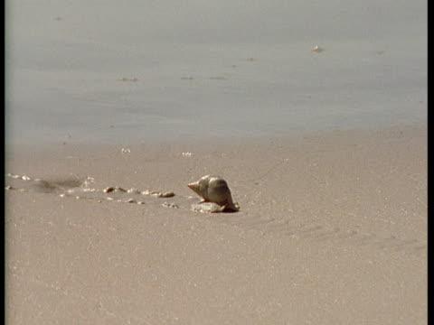 vídeos de stock, filmes e b-roll de a plough snail inches over wet sand as waves wash over it. - gastrópode