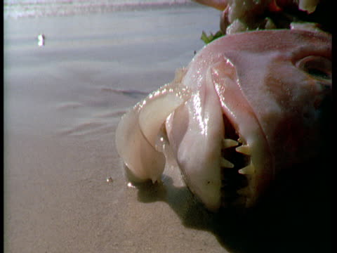 A plough snail investigates a fish carcass.