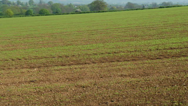 vidéos et rushes de t/l ploughed linseed (linum usitatissimum) field, uk, early may - matches framing of ts273 to ts277 - graine