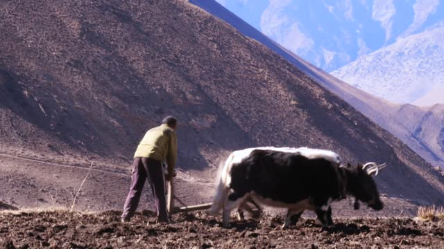 ploughing the rice fields traditionally with a type of yak called a dzo, in the mustang province of himalayan nepal. - plough stock videos & royalty-free footage