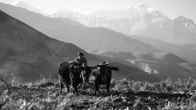ploughing the rice fields traditionally with a type of yak called a dzo, in the mustang province of himalayan nepal. - pflügen stock-videos und b-roll-filmmaterial