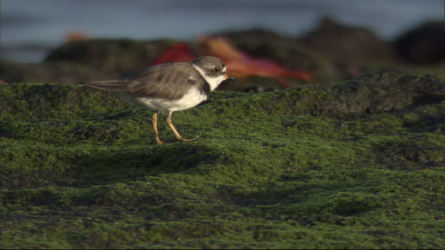 a plover walks across a mossy rock in search of food. available in hd. - futter suchen stock-videos und b-roll-filmmaterial