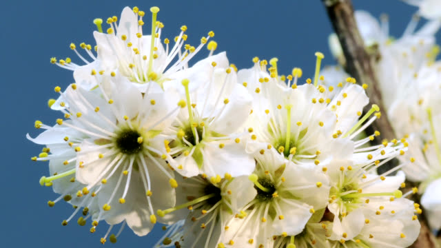 """""""plum blossom, timelapse"""" - rotting stock videos & royalty-free footage"""