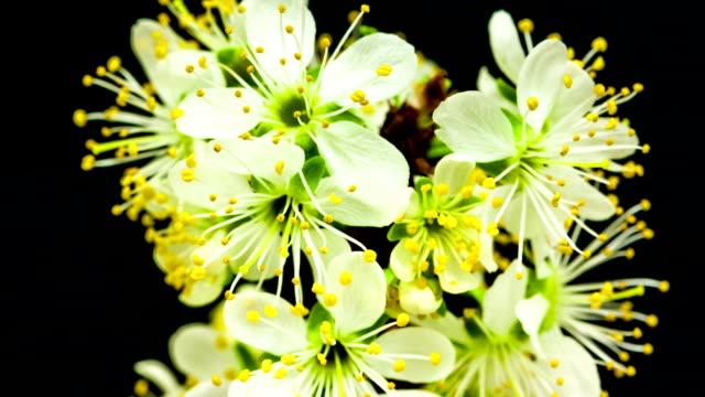 plum flower blooming against black background in a time lapse movie. prunus cerasifera growing in moving time lapse. - pistil stock videos & royalty-free footage