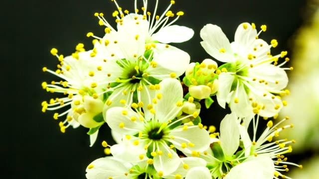 Plum bloem bloeien tegen zwarte achtergrond in een time-lapse