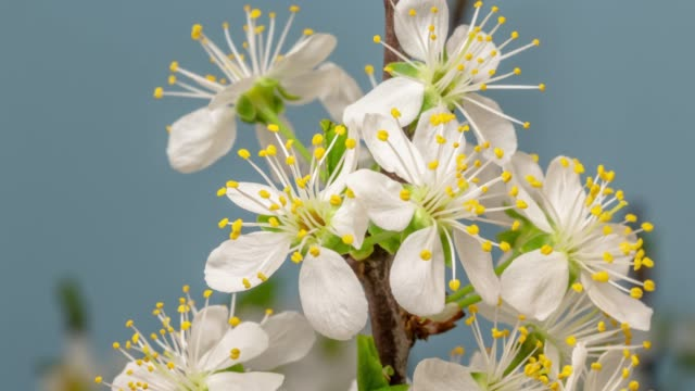 stockvideo's en b-roll-footage met pruim bloem bloeien tegen blauwe achtergrond in een time lapse film. prunus groeit in time-lapse. -stock video, schuifregelaar verticale beweging en roteren. - bloem plant