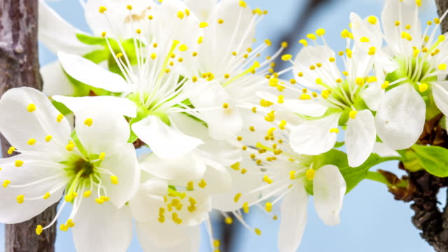 Plum flower blooming against blue background in a time lapse