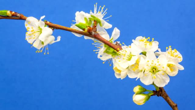 plum flower blooming against blue background - plum stock videos & royalty-free footage