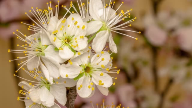 vídeos de stock e filmes b-roll de plum flower blooming against yellow background in a time lapse movie. prunus growing in time-lapse. - stock video. slider vertical movement and rotating. - cabeça de flor