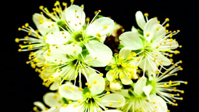 plum flower blooming - plum stock videos & royalty-free footage